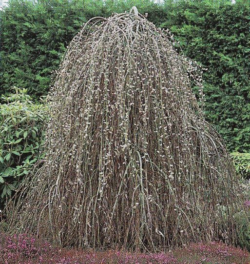 IMMOVERT - Salix caprea pendula