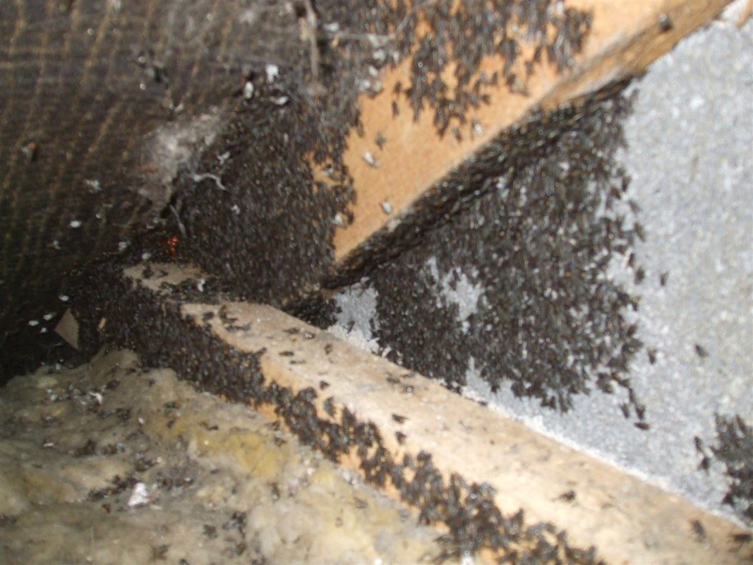 Cluster Flies, loft near Bath, Barron Pest Control