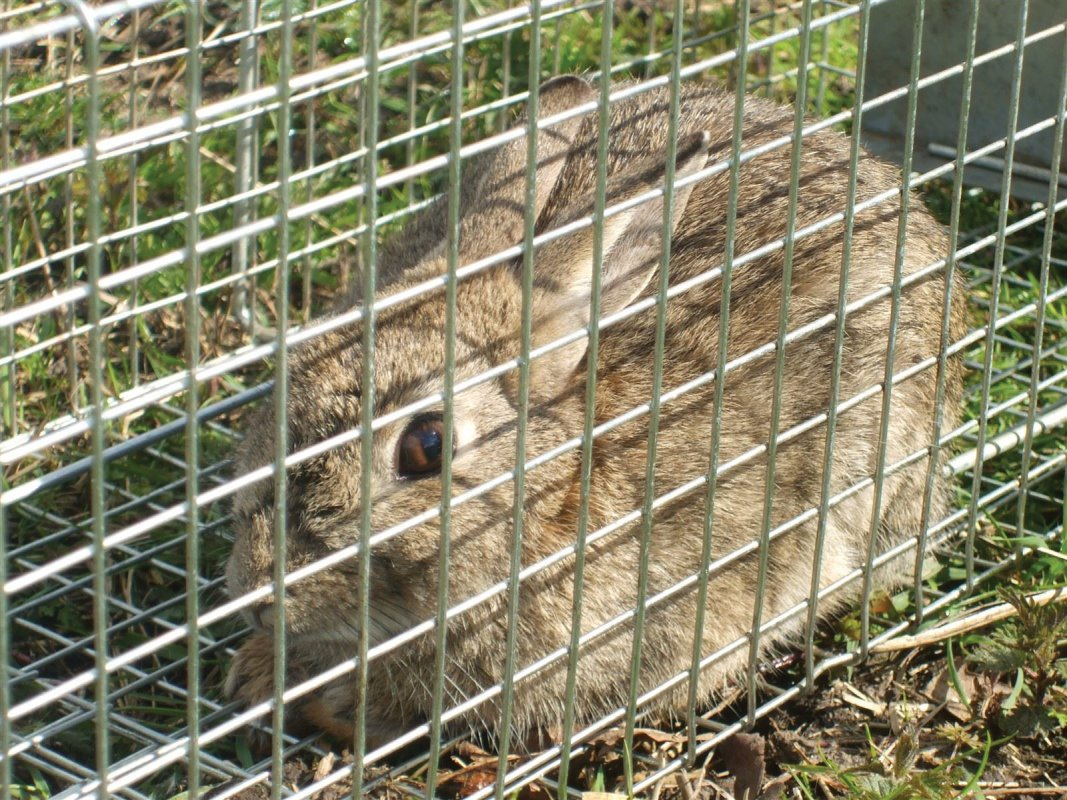 Cage traps can be useful for rabbits