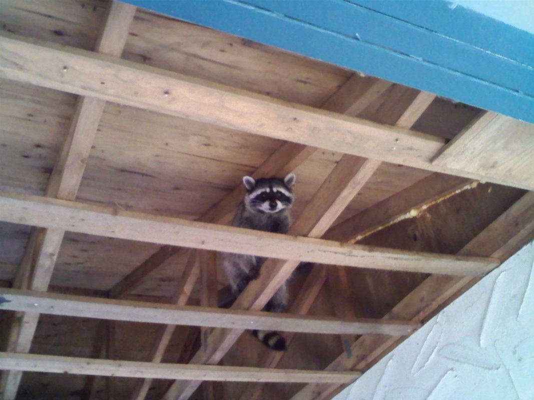 Raccoon Mother. Her 2 babies were also in this car port so CridX was called in to exclude them from their structure so they could install soffit, which would have trapped this raccoon family inside.