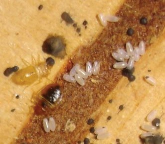 Bed Bugs, spotting, and eggs