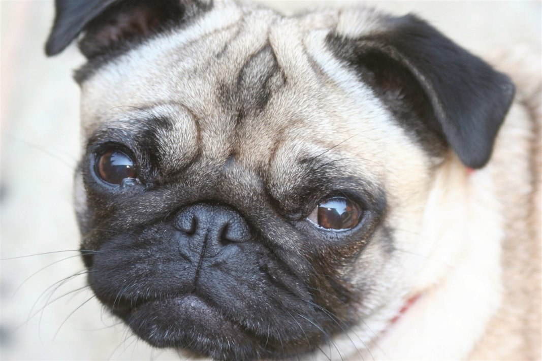 Phoebe Pug joins doggy day care in Twyford