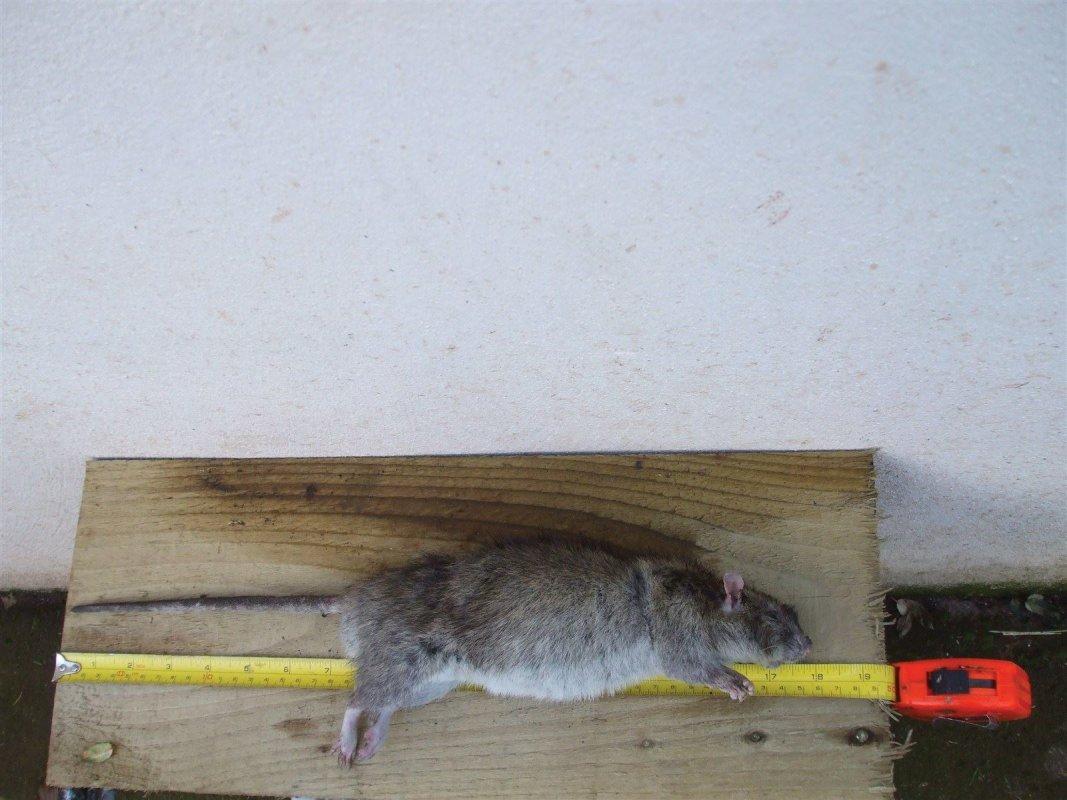 Large rat. Somerset