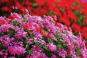 Immovert - Géraniums des balcons en fleurs
