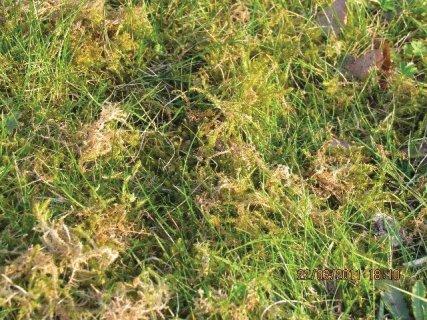 IMMOVERT - Mousses dans pelouse