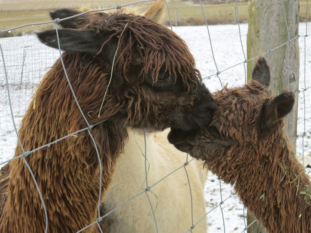 Baby alpaca meets his dad for the 1st time.