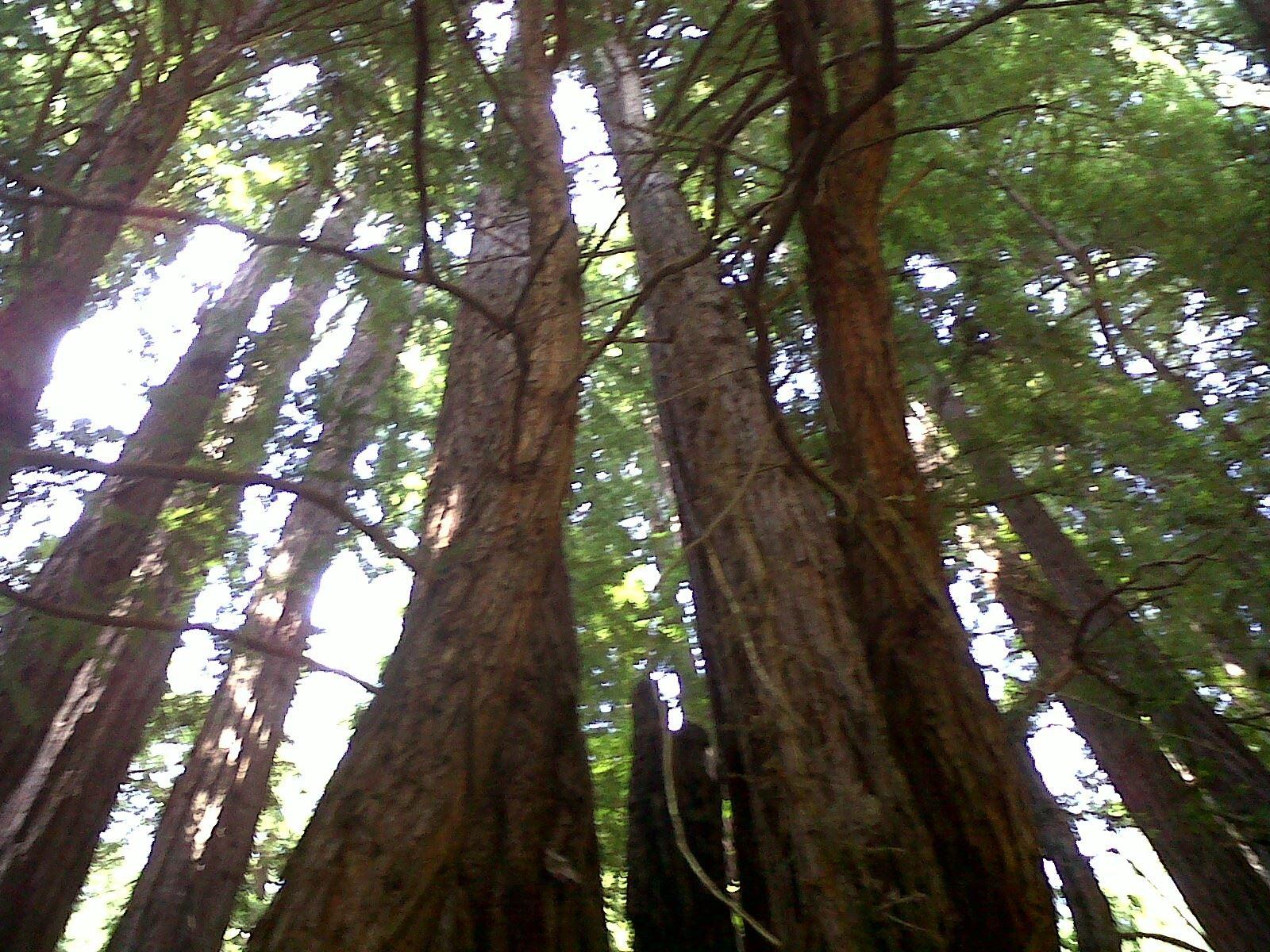 Redwoods in Muir Woods : Redwood in Muir Woods