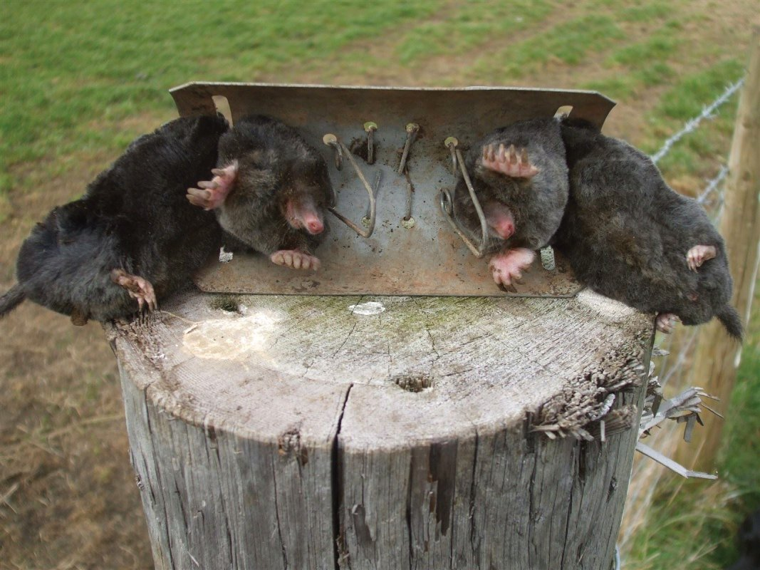 Two in one - Two moles caught in a Half Barrel Trap near Frome Somerset