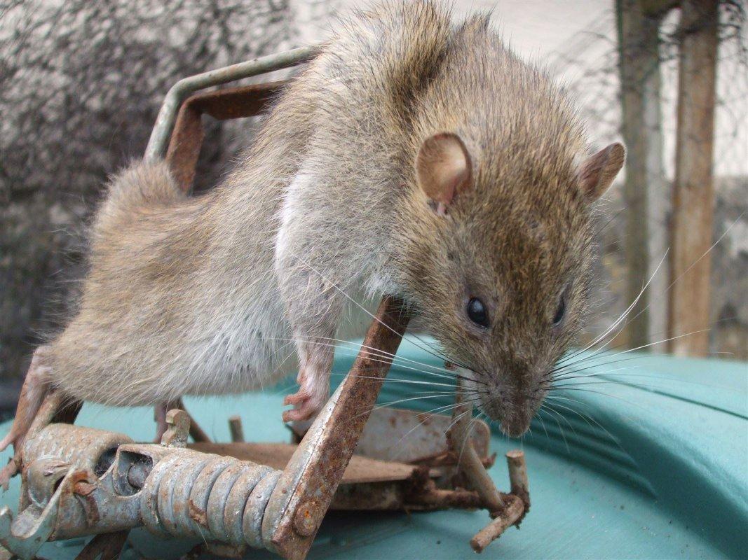 Adult rat in a Fenn trap