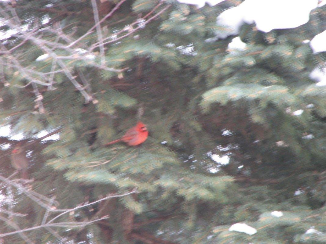 Adagio Cardinal