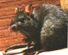 Roof rats destroy everything; wiring, insullation, wood, shingles, plumbing, etc.  They will enter your home interior and carry infectious diseases.