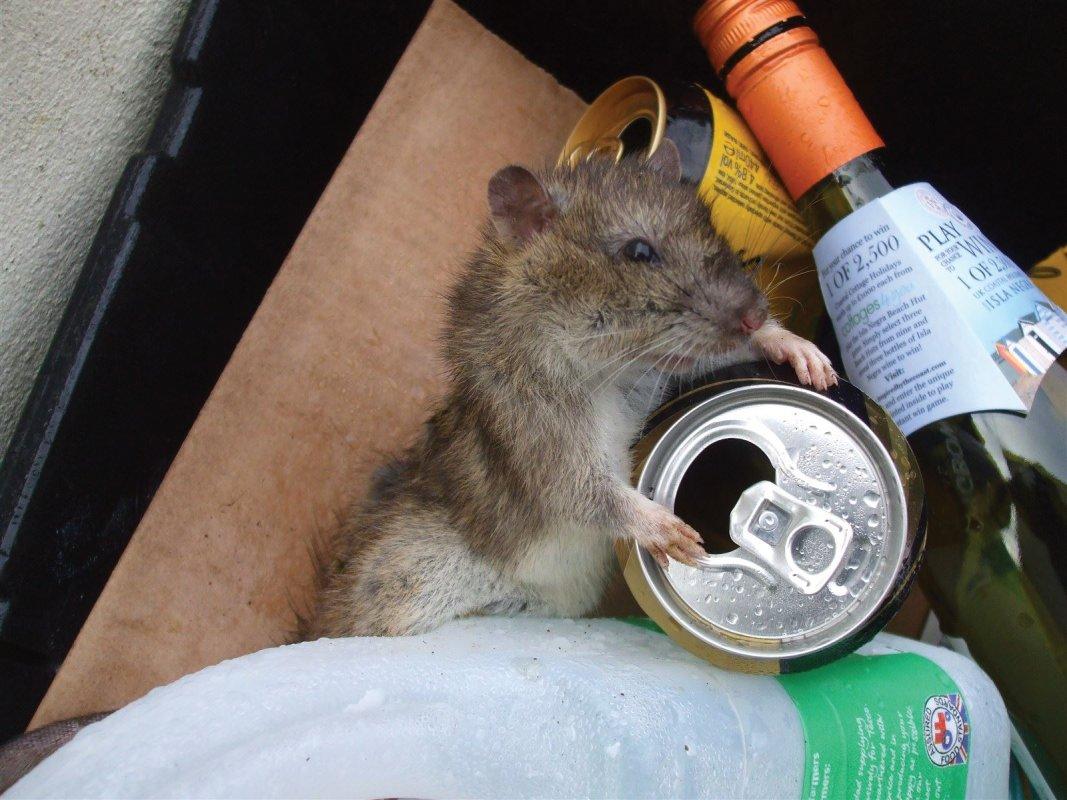 Rat in Rubbish