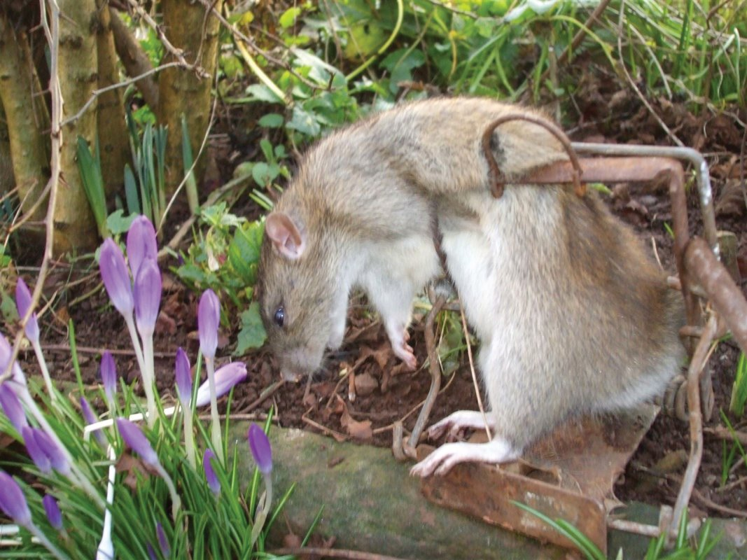 Rat caught in a Fenn trap, Stratton on the Fosse