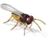 Trichogramma wasp moth control