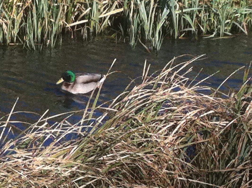 Male Mallard duck of Forth Quarter wildlife reserve and public park, Edinburgh