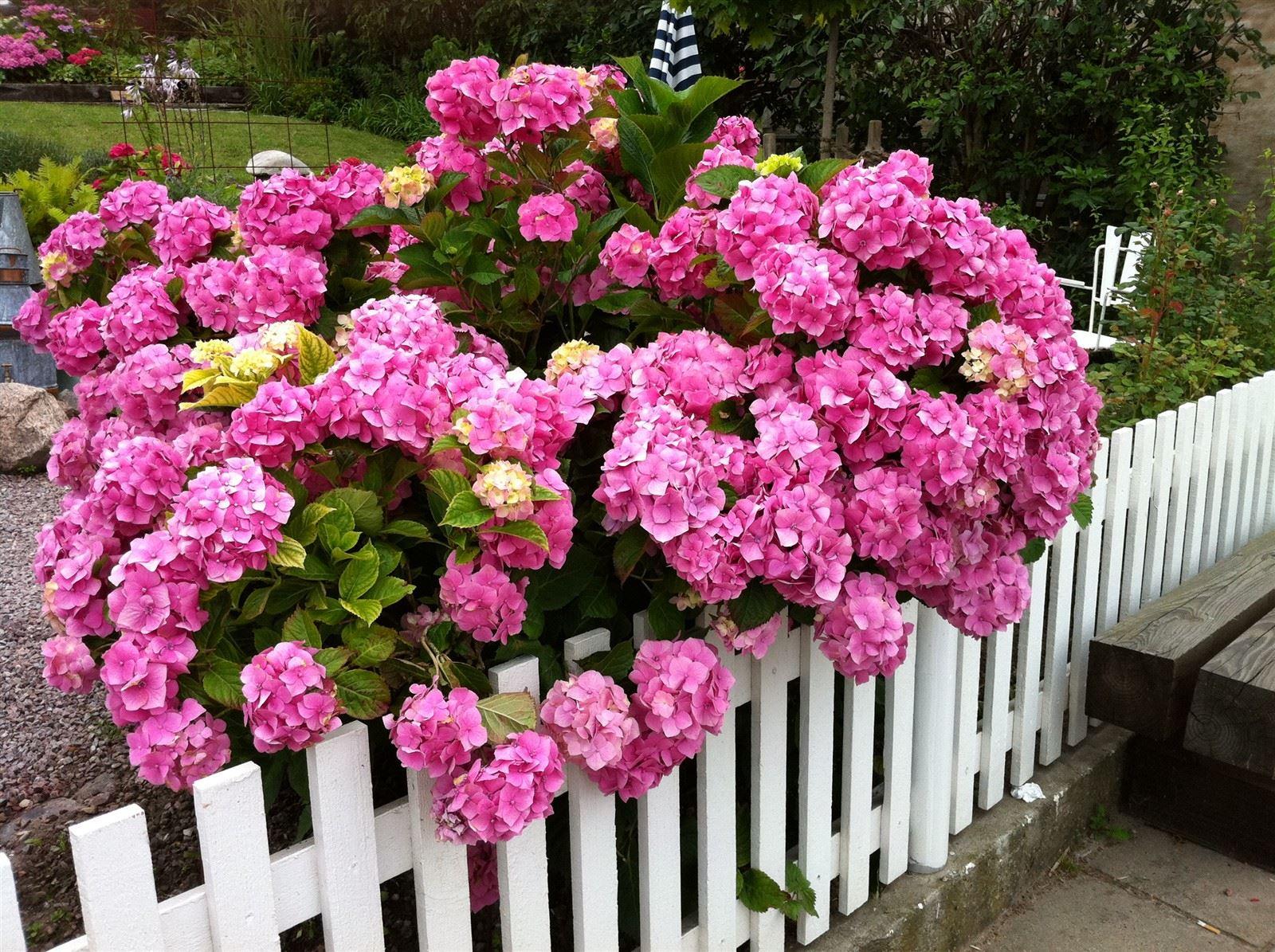 Hortensiatiden på Ven - värda ett besök : Fantastiska buskar