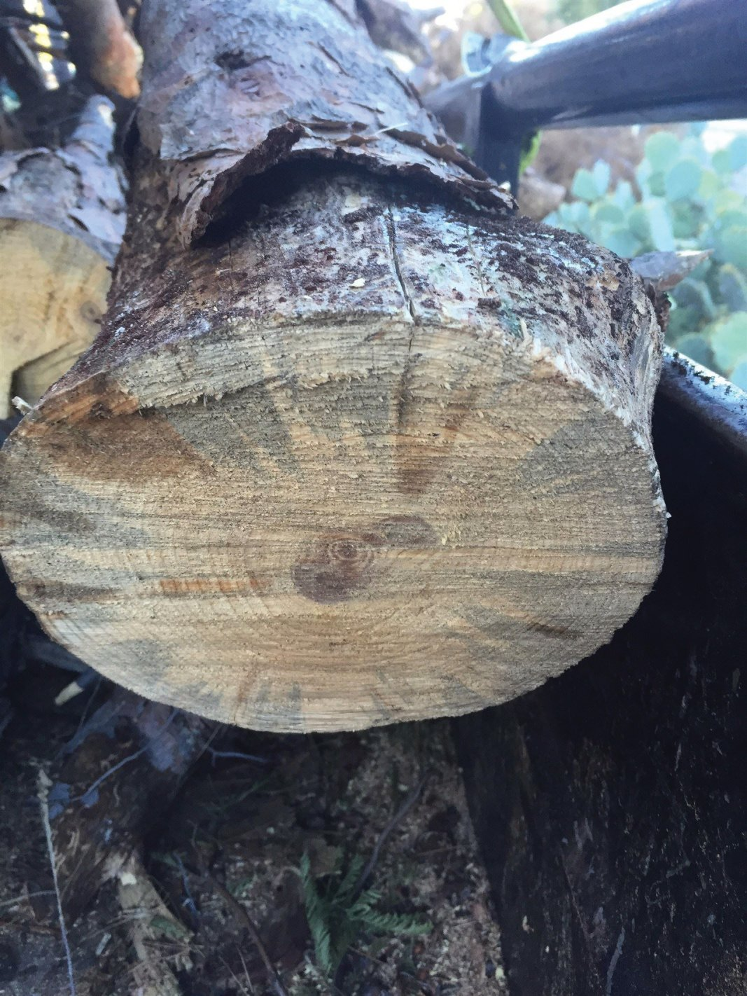 Pine Bark beetle ravishes Tucson Arizona. What can you do?