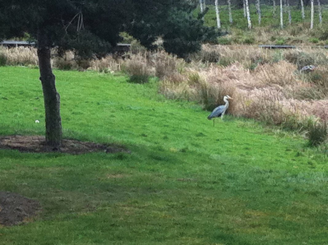 A visiting Grey Heron popping in for lunch at Forth Quarter wildlife reserve and public park, Edinburgh