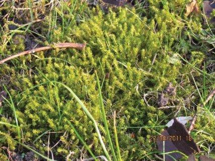 IMMOVERT - Mousses dans une pelouse