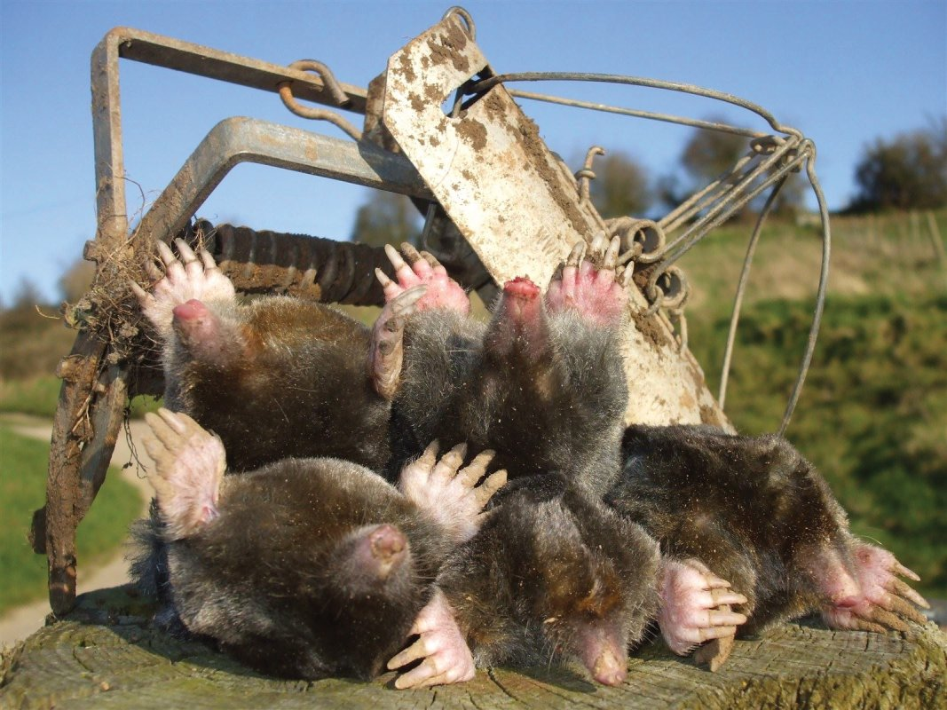 Spring Moles, taken by Barron Pest Control