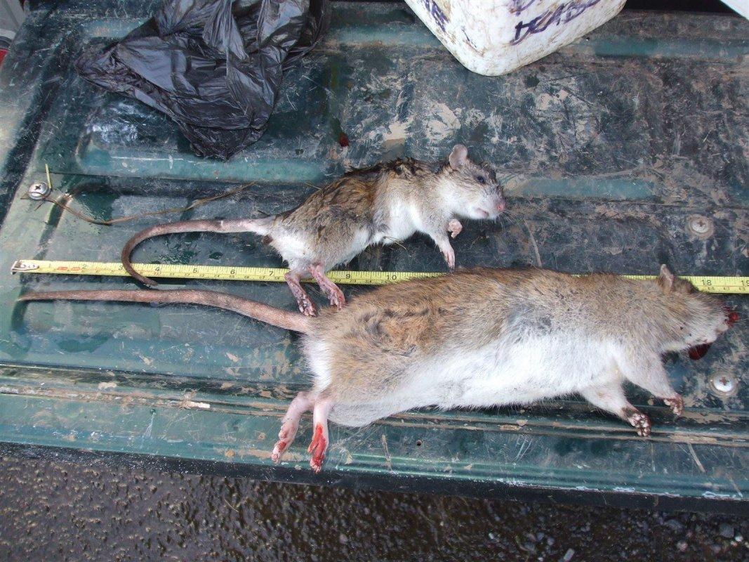 Rampant Rats Radstock