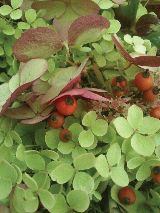 Vidjehortensia, trädgårdshortensia, kärleksört och nypon.