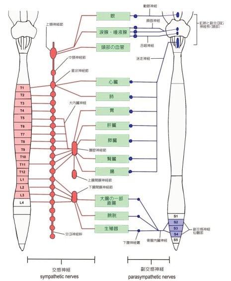 新潟ピラティス|胸椎と交感神経