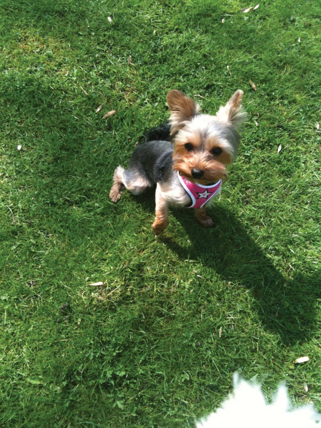 Frankie the Yorkshire Terrier