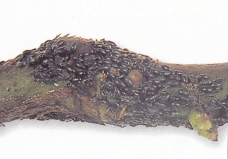 IMMOVERT - Puceron des racines du rosier
