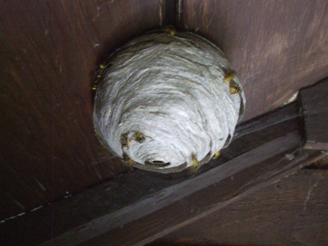Wasp nest, garden shed, Midsomer Norton treated by Barron Pest Control