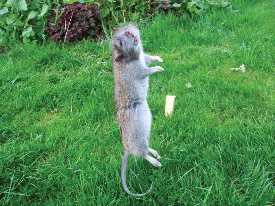 Snared rat.