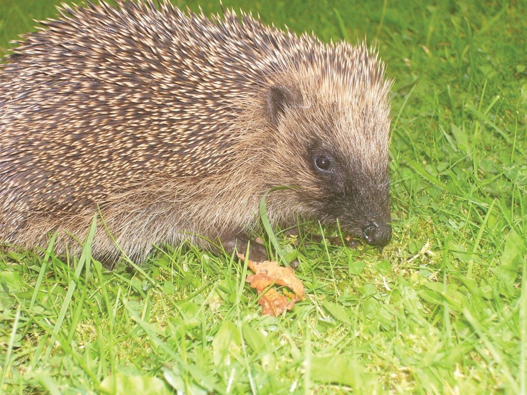 Hedgehogs are becoming increasingly rare.