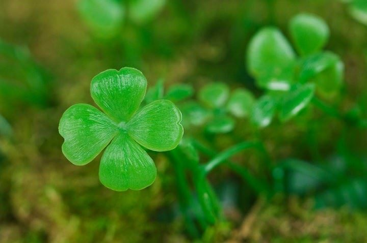 Lucky four leaf clover doesn't guarantee success and transformation as much as commitment, intention and willingness do.