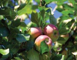 IMMOVERT - Dégât du gel sur les pommes
