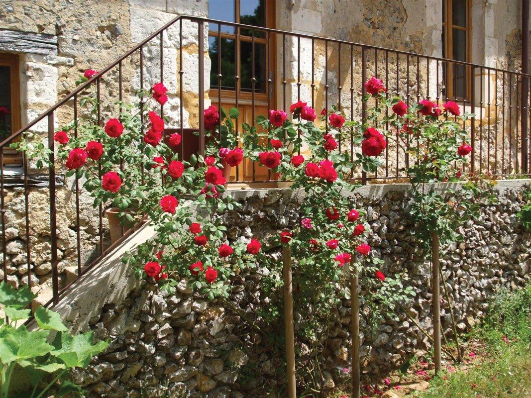 rosiers devant le V