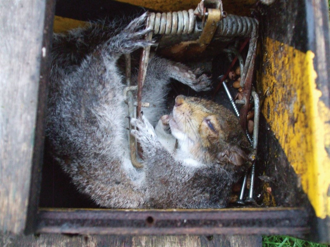 Squirrels fall victim to Fenn traps too.