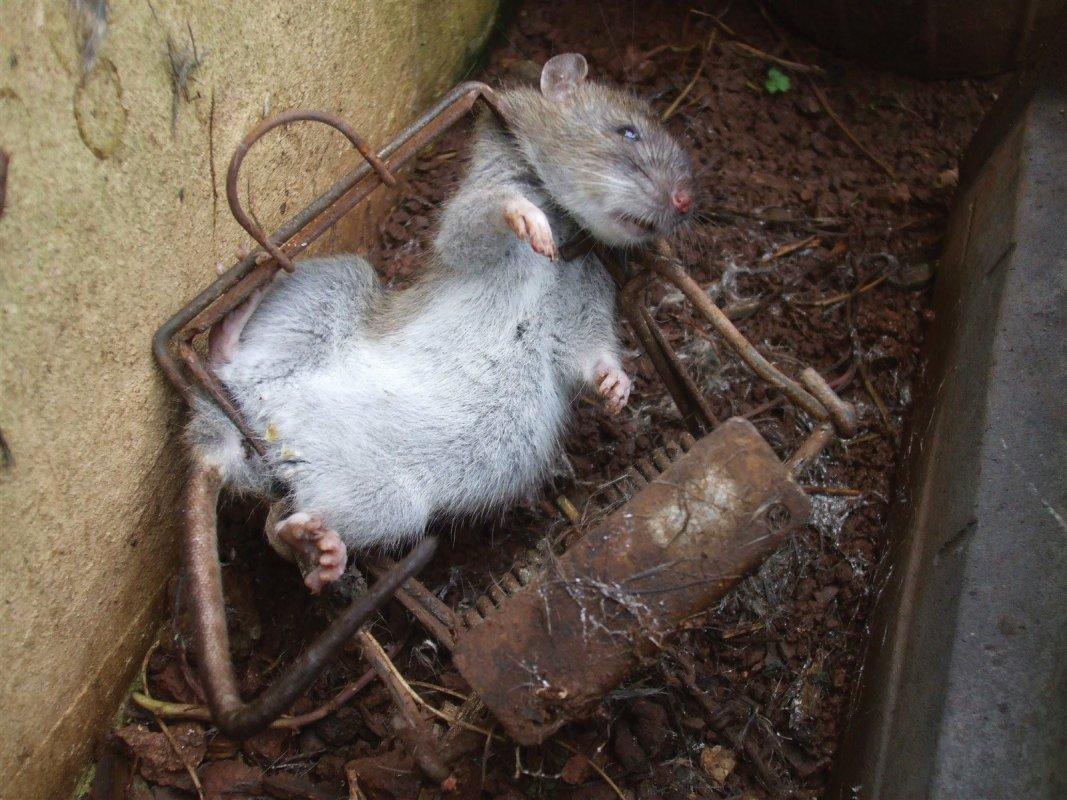 Rat in trap. Somerset
